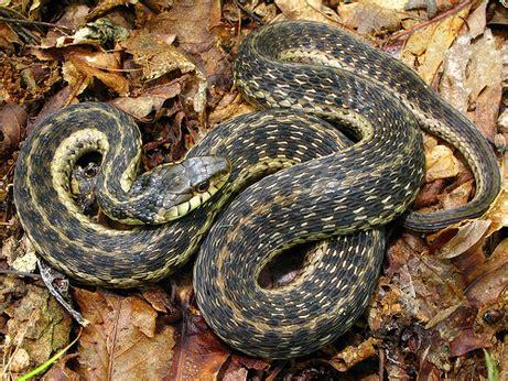 Garden Snake Florida Garter Snake Florida Eco Travel Guide