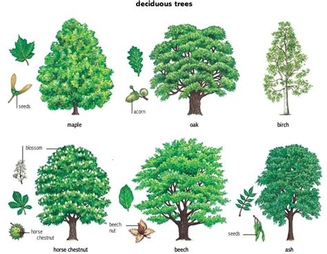 name of the tree ash noun definition pictures pronunciation and usage