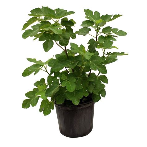 homedepot tree brown turkey fig tree figbro05g the home depot