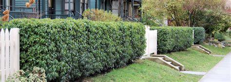cherry tree zone 9b prunus lusitanica beautiful prunus lusitanica or portuguese laurel plant plant study with