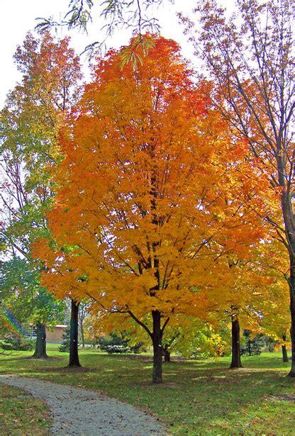 maple tree in fall autunno dorato speradisole s