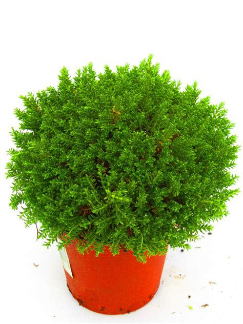 pflanze immergrün winterhart blühend hebe armstrongii green globe kaufen bestellen