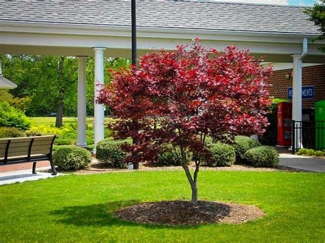maple tree japanese bloodgood japanese maple for sale the tree center