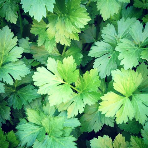 with leaves celery leaf and macadamia pesto