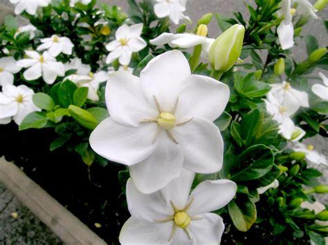 Gardenia Bush Australian Rubiaceae