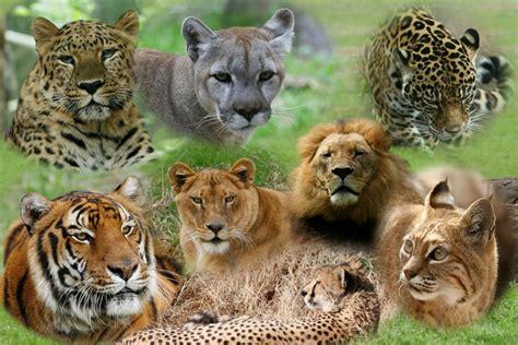 big cat big cat pride