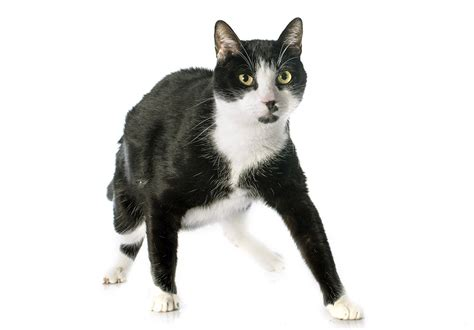 black and white cat black and white cat images