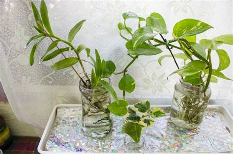 Growing Your Indoor Plants In Water Gardening Forums
