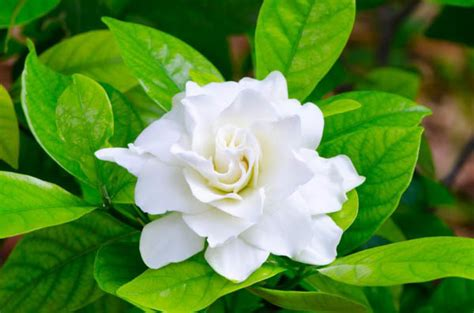 Gardenia Images Learn How To Grow And Care For Your Gardenia