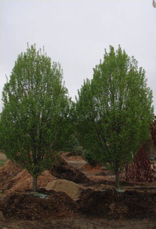 trees for sale dale tree movers tree farm dale tree movers tree farm
