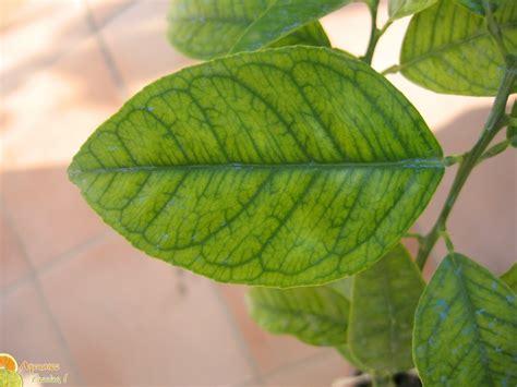 maladie citronnier au jardin forum de jardinage