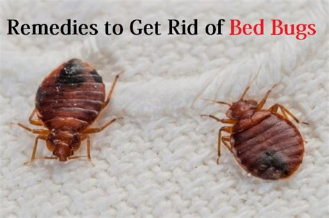 Get Rid Of Bed Bugs Fast by Home Remedies To Get Rid Of Bed Bugs