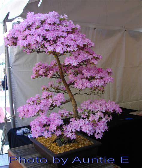 a cherry tree bonsai auntie e s yard and garden blue monday bonsai s