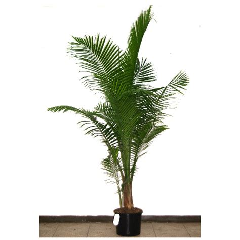 rona tree quot majesty quot palm tree rona