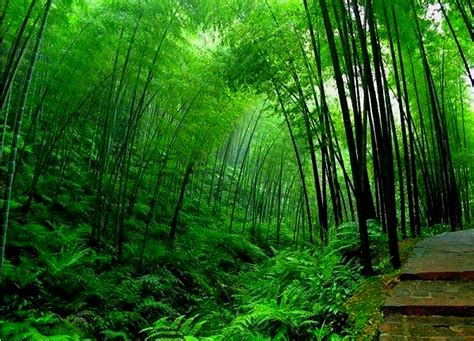 hd tree wallpaper bamboo tree wallpapers hd neptunes dreams