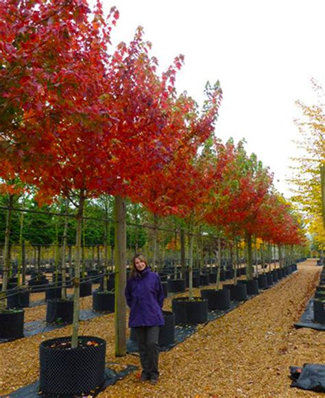 acer x freemanii autumn blaze freeman s maple deepdale trees