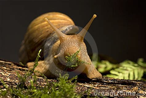 Giant African Land Snail Stock Image - Image: 6631931