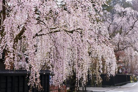 cherry tree weeping weeping cherry trees top 10 list of cascading faves