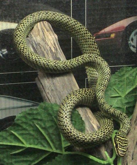 How to build enclosures for reptiles - custom snake cages ... Arboreal Snakes