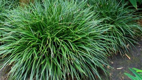 niedrige ziergräser sorten siergrassen wuivende planten plazilla