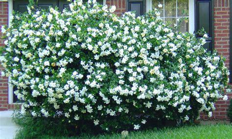 Gardenia Bush Gardenia Bush 2