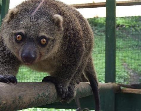 of animals picture 1 of 7 cuscus phalanger maculatus pictures