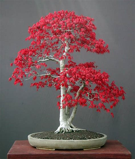 plantwerkz maple tree acer rubrum