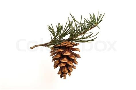 tree with pine cones pine cone hanging on a pine tree branch stock photo