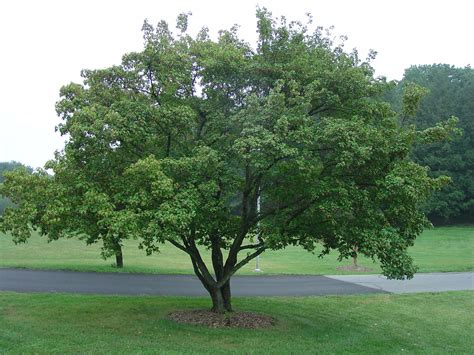maple tree small yard small trees for yard small trees yards and gardens