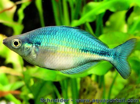 melanotaenia lacustris poisson arc en ciel turquoise aquaportail