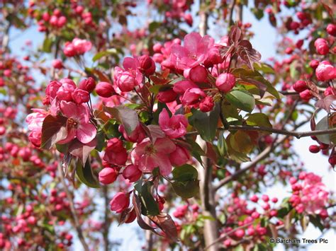 pink tree uk top trees for blossom barcham trees