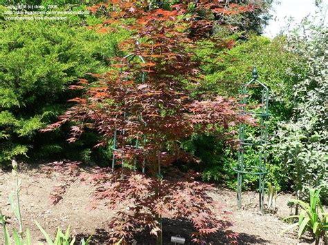 japanese maple tree zone 9 plantfiles pictures japanese maple tsukushigata acer palmatum by doss