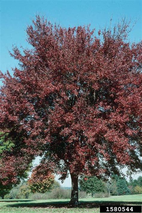 maple tree kingdom maple acer rubrum sapindales aceraceae 1580544