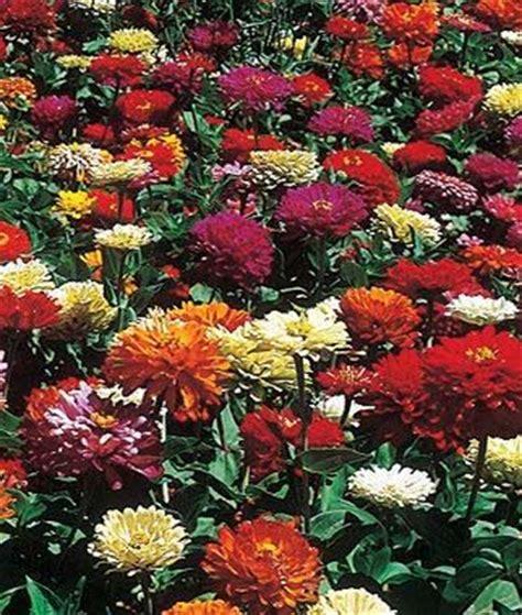 zinnia flower garden state fair mix zinnia seeds and plants annual flower