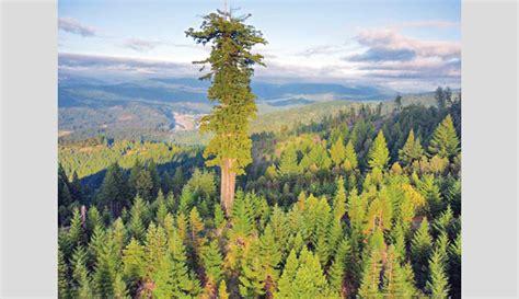 tallest tree in the world world tallest tree on earth www pixshark images