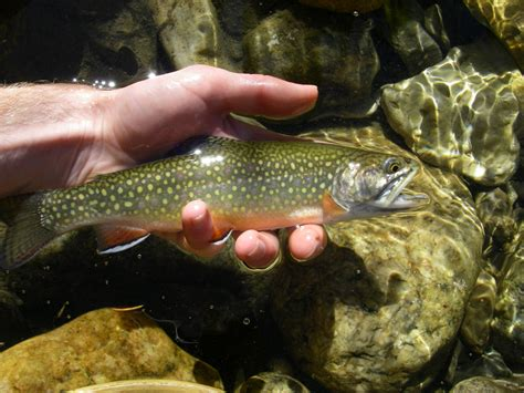 fishing trout trout fly fishing brook trout