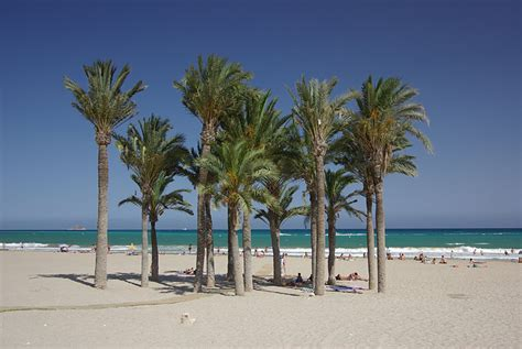 trees in spain palm trees on costa benidorm culture spain