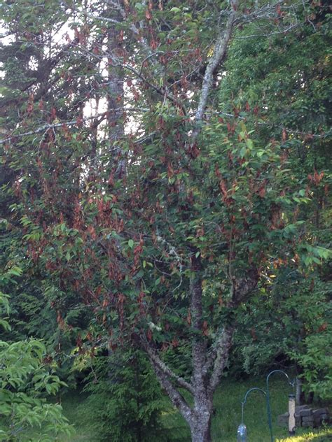 apparent disease on cherry tree ask an expert