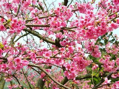 20 gambar bunga di jepang ayeey