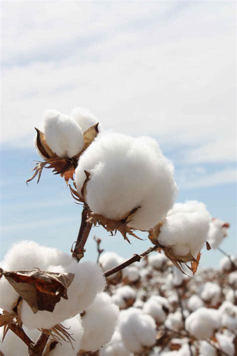 from photos photos cotton australia