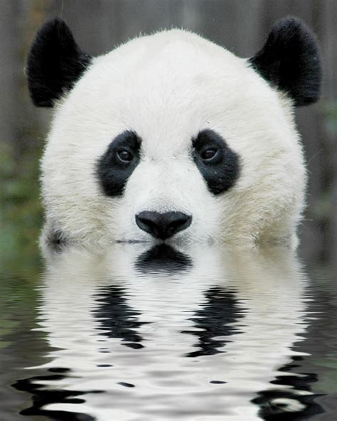 one panda national geographics beautiful animals