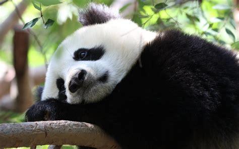 one panda the all request lanarama grand finale don t freak on cbc