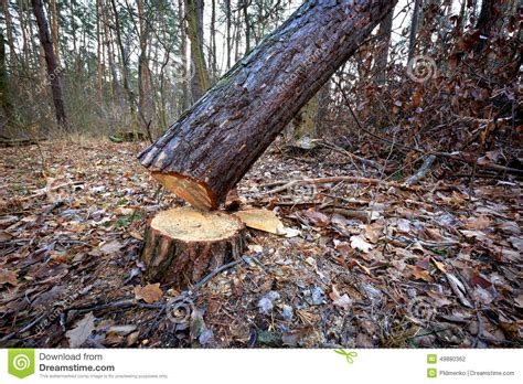 cutting tree cut tree stock photo image 49880362