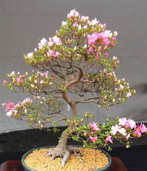 a cherry tree bonsai 7 japanese flowering cherry blossom bonsai seeds bonsai seeds ebay