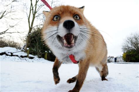 one fox pet fox is just one of the family 12 pics izismile
