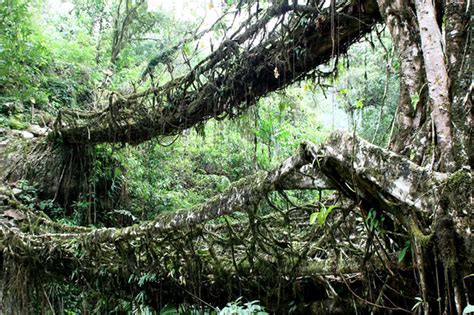 living bridges india s amazing tree bridges are made of living roots and