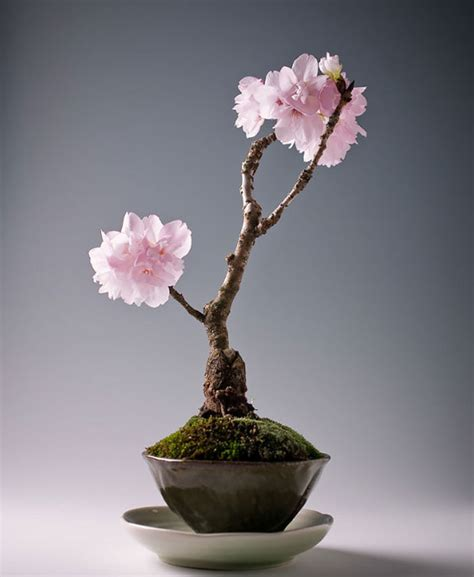a cherry tree bonsai 11 most beautiful oldest bonsai trees in the world diet of