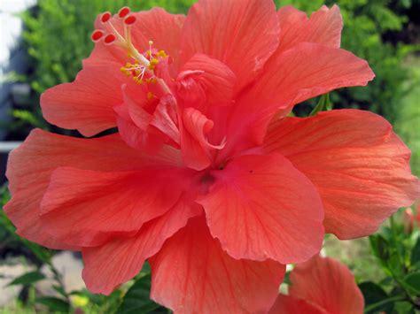 hibiscus flower beautiful hibiscus flowers