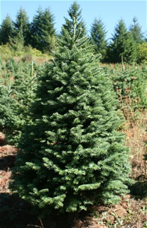 noble fir tree pictures quality trees tree dublin