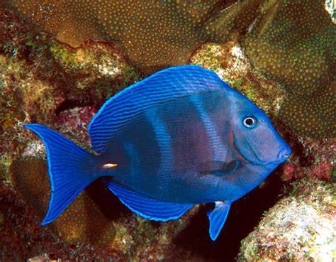 les poissons d aquarium marin